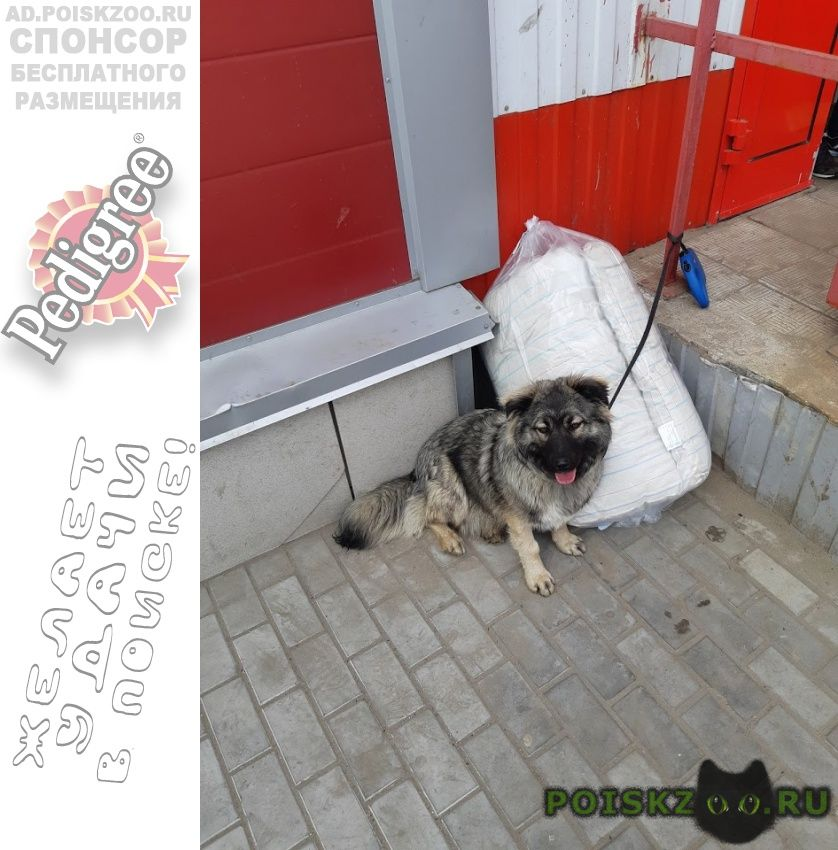 Пропала собака коротколапый метис кавказки г.Электроугли