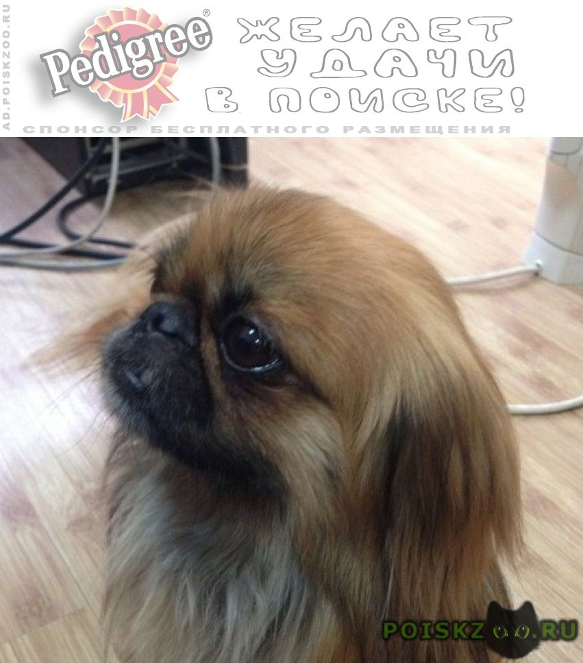 Пропала собака кобель пекинес г.Липецк