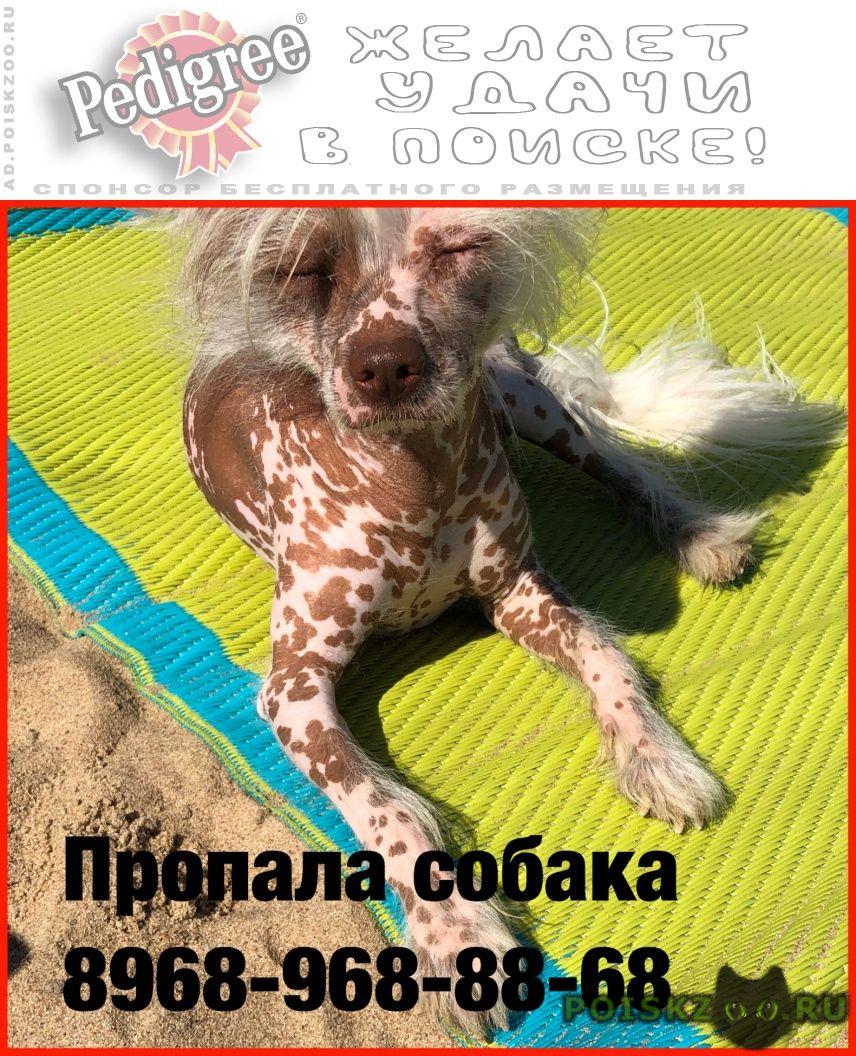 Пропала собака кобель прапала китайская хохлатая г.Ступино