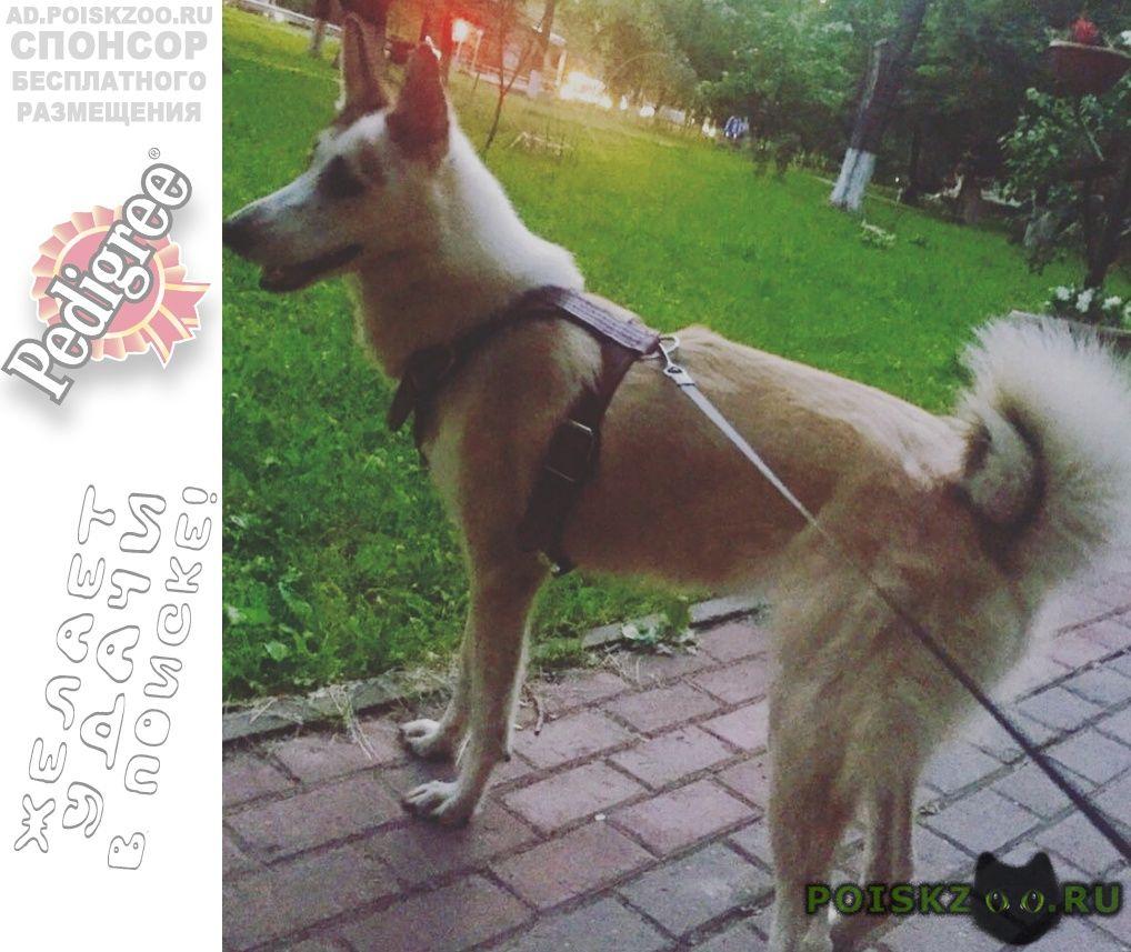 Пропала собака лайка 2.5 лет г.Истра