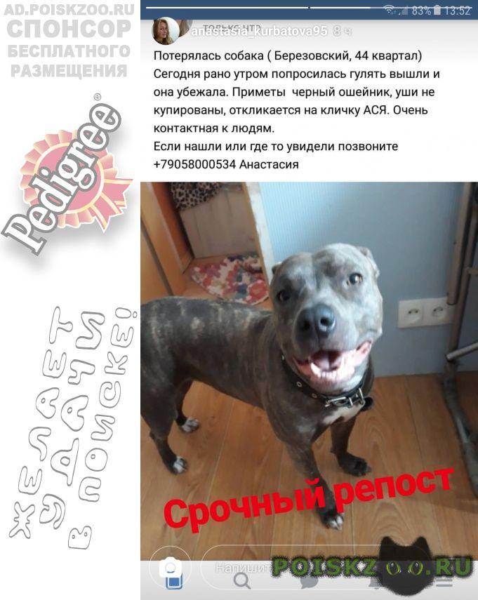 Пропала собака г.Березовский (Свердловская обл.)