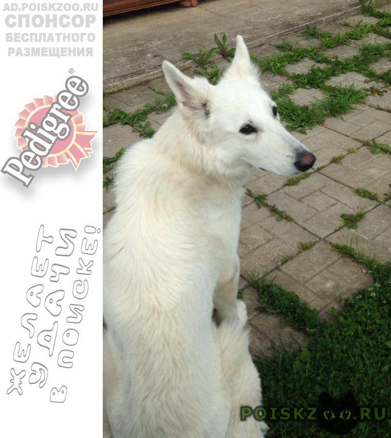 Пропала собака белая швейцарская овчарка г.Сергиев Посад