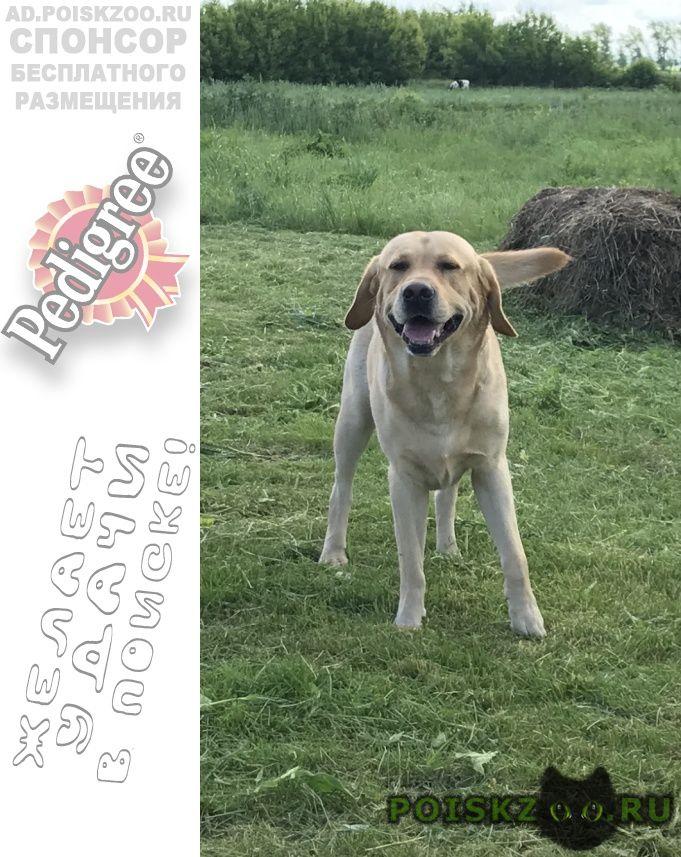 Пропала собака кобель лабрадор г.Казань