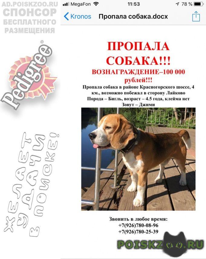 Пропала собака кобель бигль 4 года г.Москва