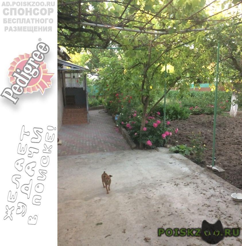 Пропала собака маленькая коричневая собачка г.Симферополь