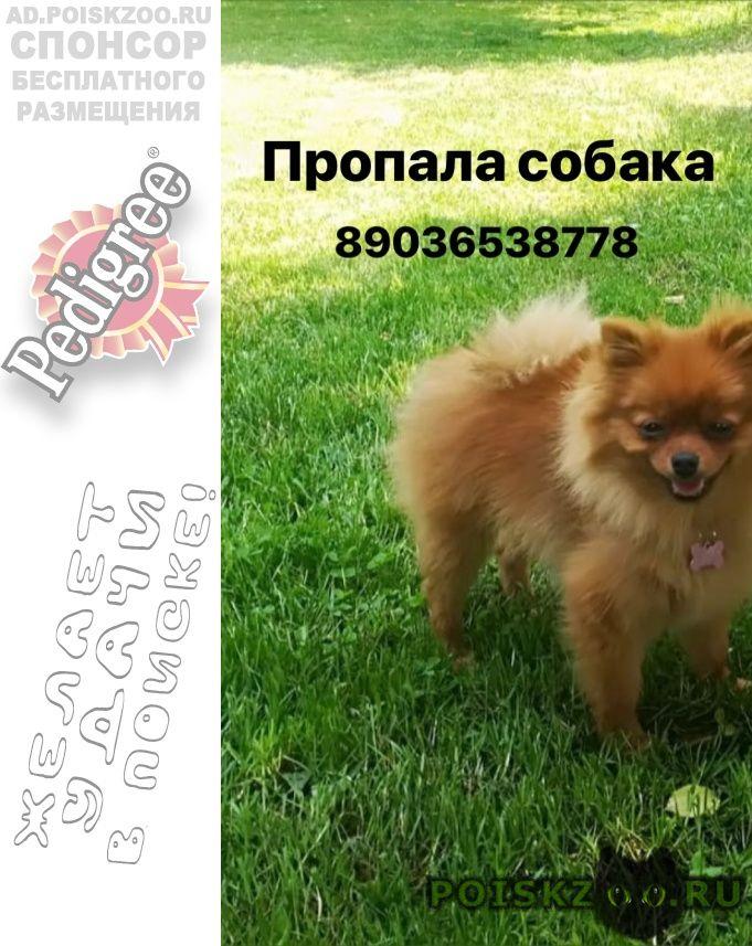 Пропала собака рыжий шпиц г.Воронеж