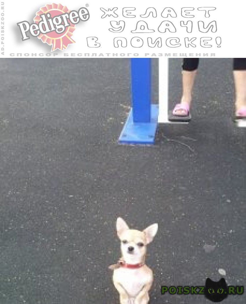 Пропала собака чихуахуа пос.мечниково г.Красногорск