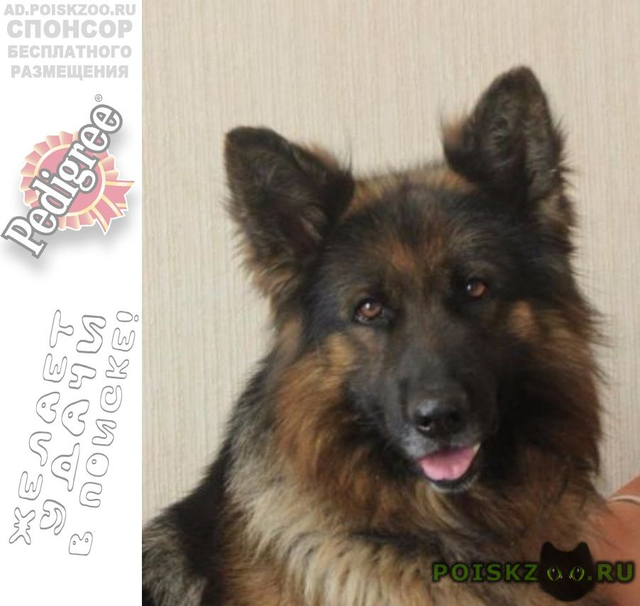 Пропала собака немецкая овчарка г.Березовский (Свердловская обл.)
