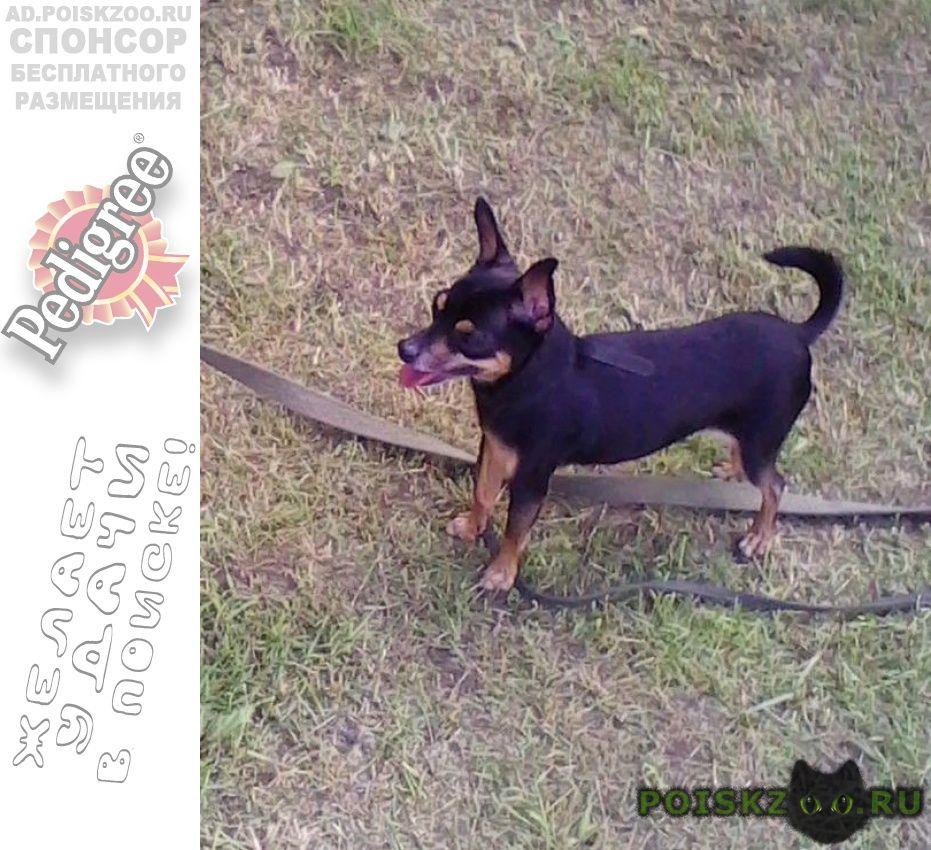 Пропала собака кобель г.Климовск