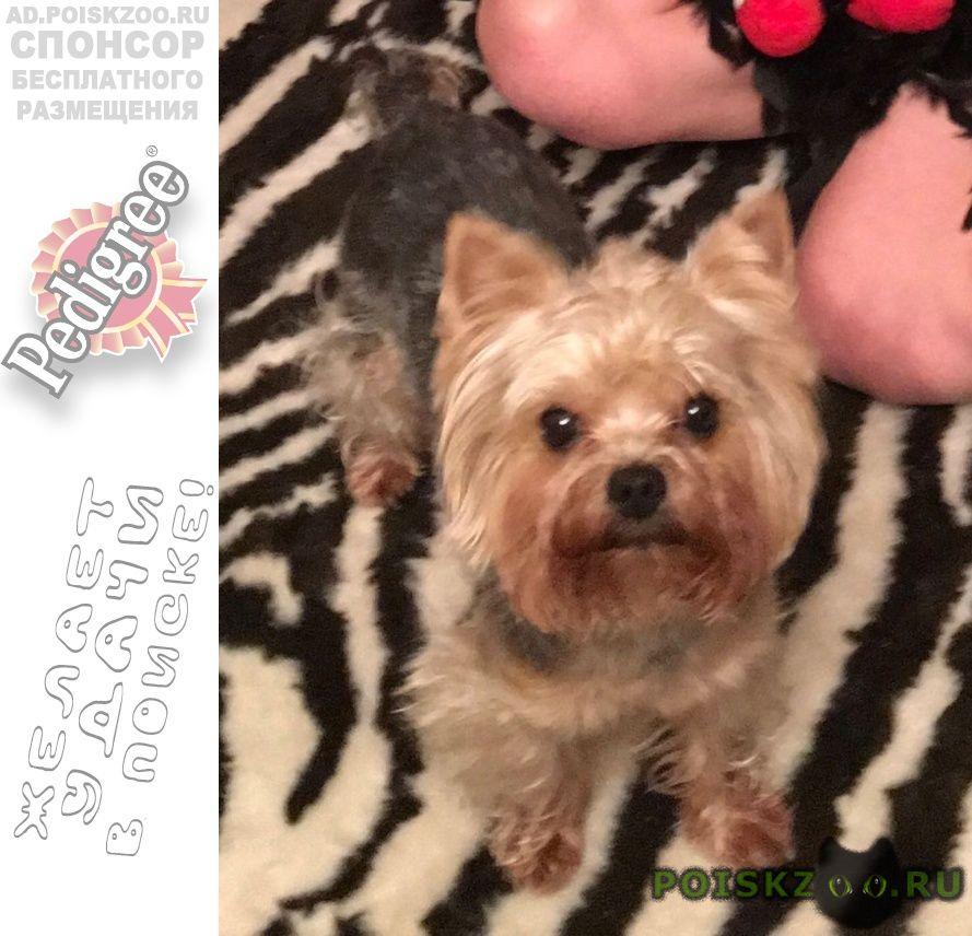 Пропала собака кобель йорк г.Екатеринбург