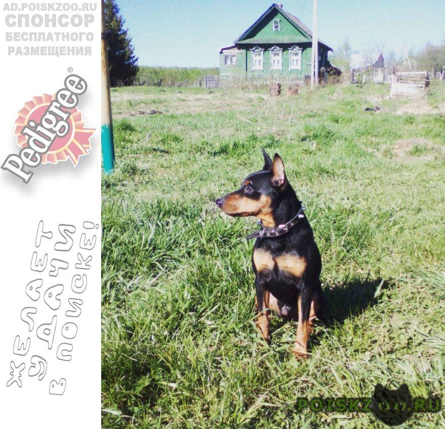 Пропала собака кобель цвергпинчер г.Ярославль