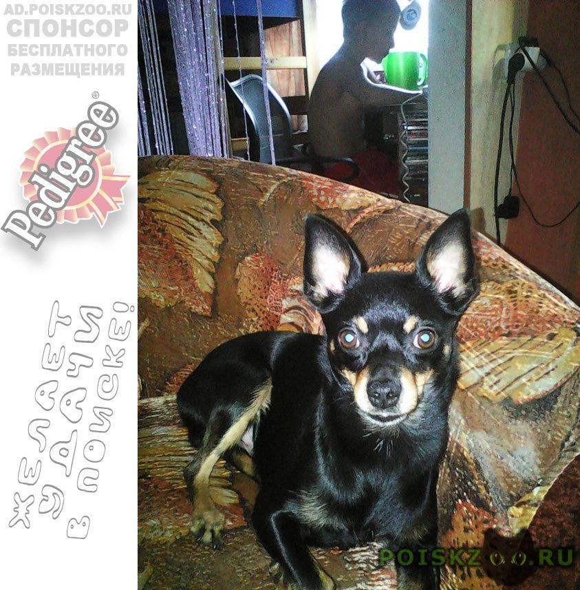 Пропала собака кобель той-терьер кличка малыш г.Иркутск