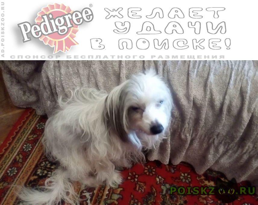 Пропала собака породы китайская хохлатая г.Конаково