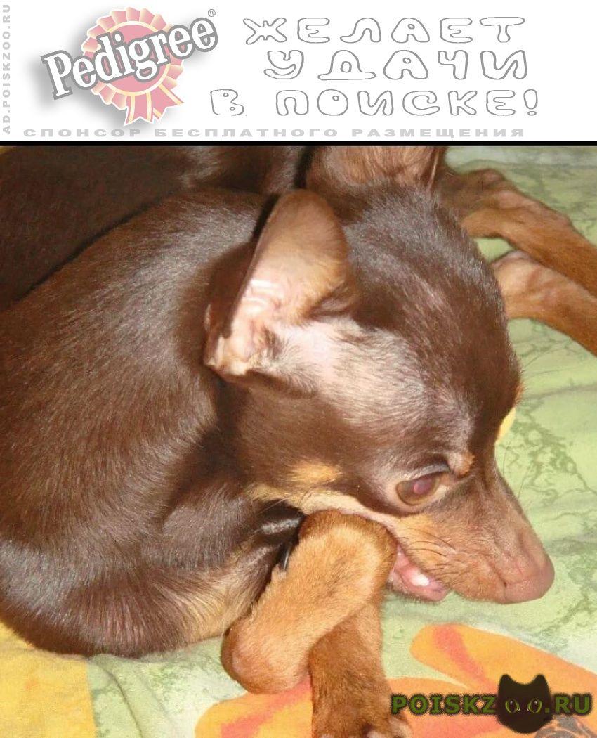Пропала собака кобель порода русский той терьер г.Ростов-на-Дону
