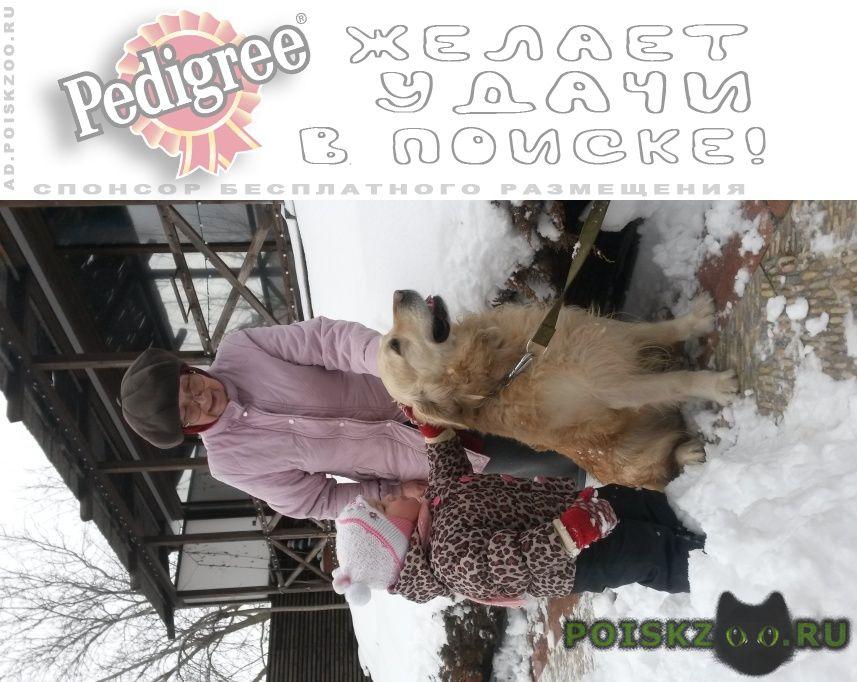 Пропала собака кобель золотистый лабрадор. г.Ростов-на-Дону