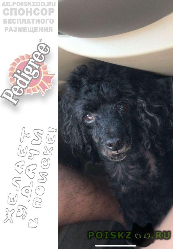 Пропала собака кобель карликовый пудель г.Краснодар