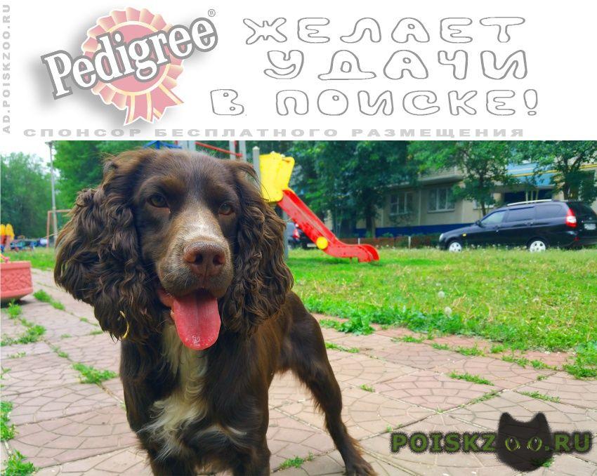 Пропала собака кобель коричневый кокер спаниель г.Оренбург