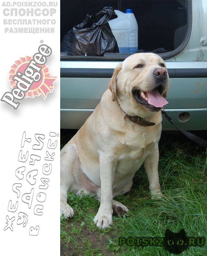 Пропала собака кобель лабрадор-ретривер г.Дзержинск