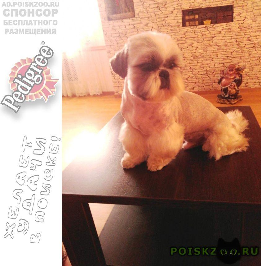 Пропала собака кобель ши тцу г.Челябинск