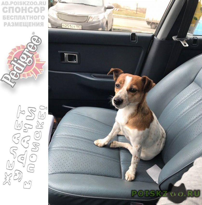 Пропала собака джек рассел девочка г.Троицк