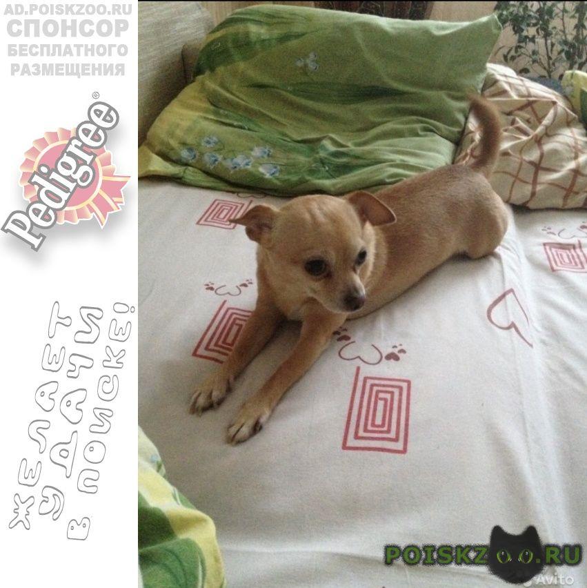 Пропала собака кобель чихуахуа г.Чехов