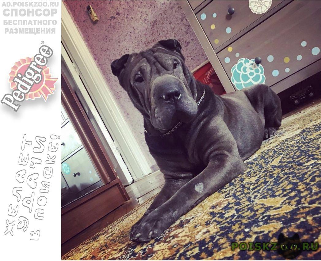Пропала собака порода шарпей г.Краснодар