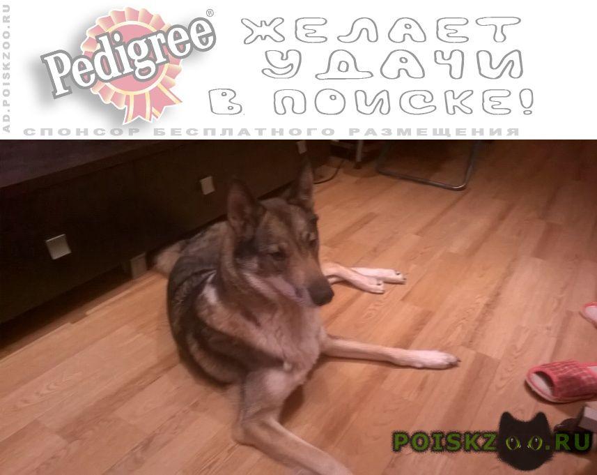 Пропала собака г.Сургут