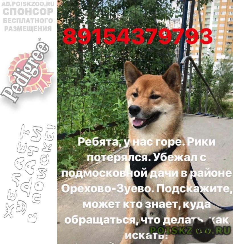 Пропала собака кобель шиба-ину, мальчик, зовут рики г.Орехово-Зуево
