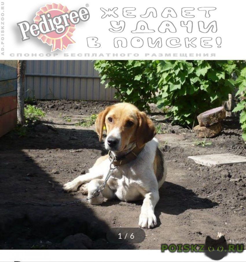 Пропала собака кобель гончая г.Гатчина