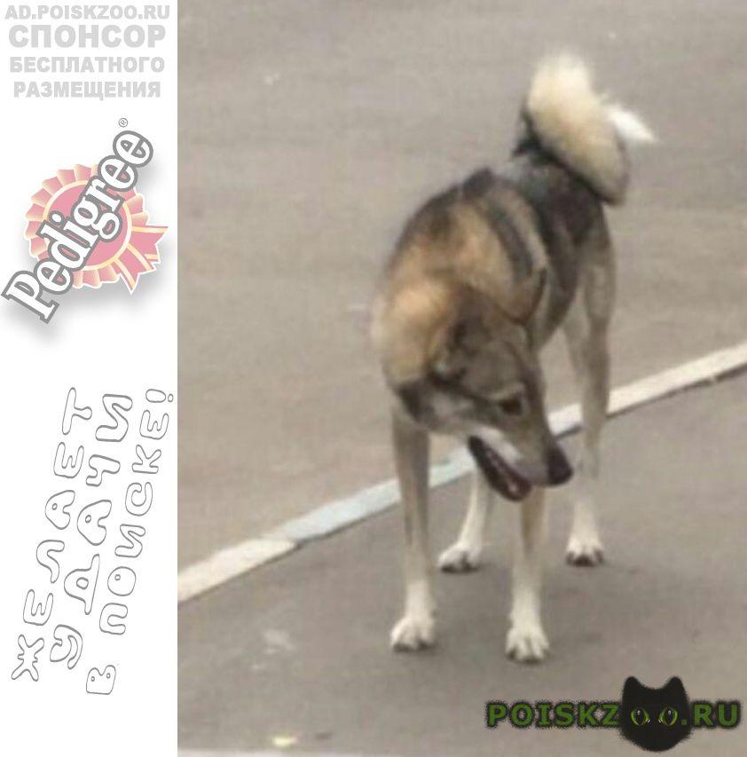 Пропала собака западносибирская лайка г.Москва