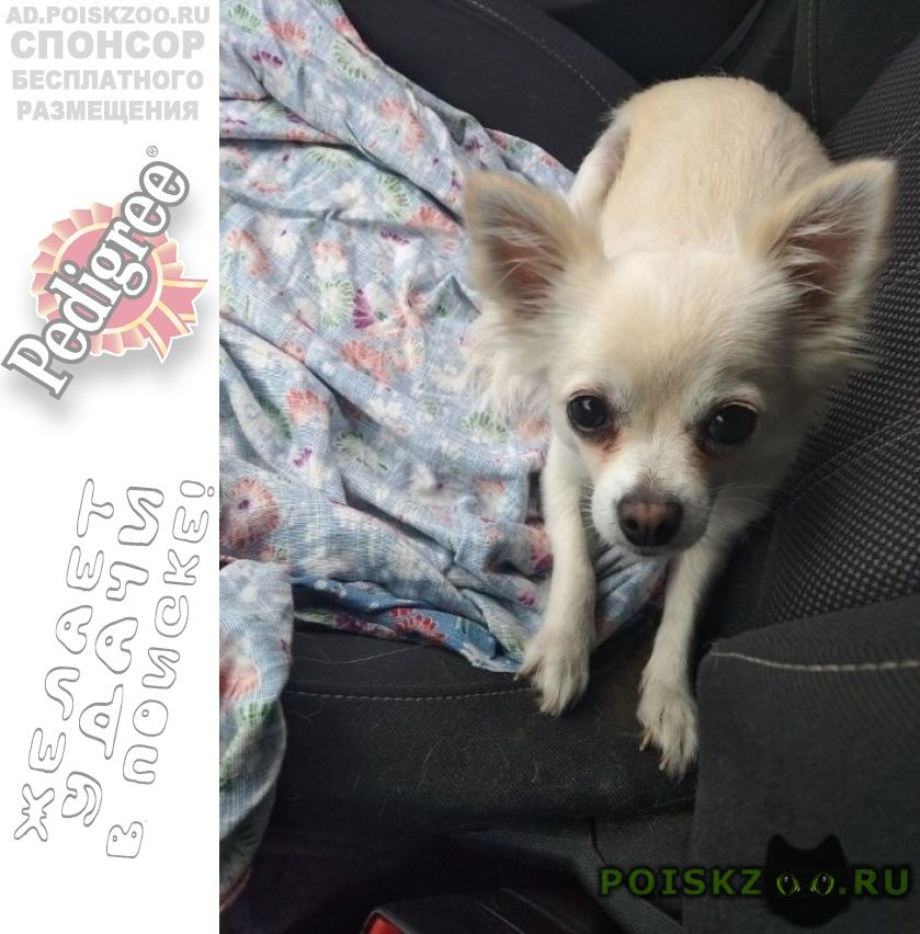 Пропала собака чихуахуа в терлецком парке перово г.Москва