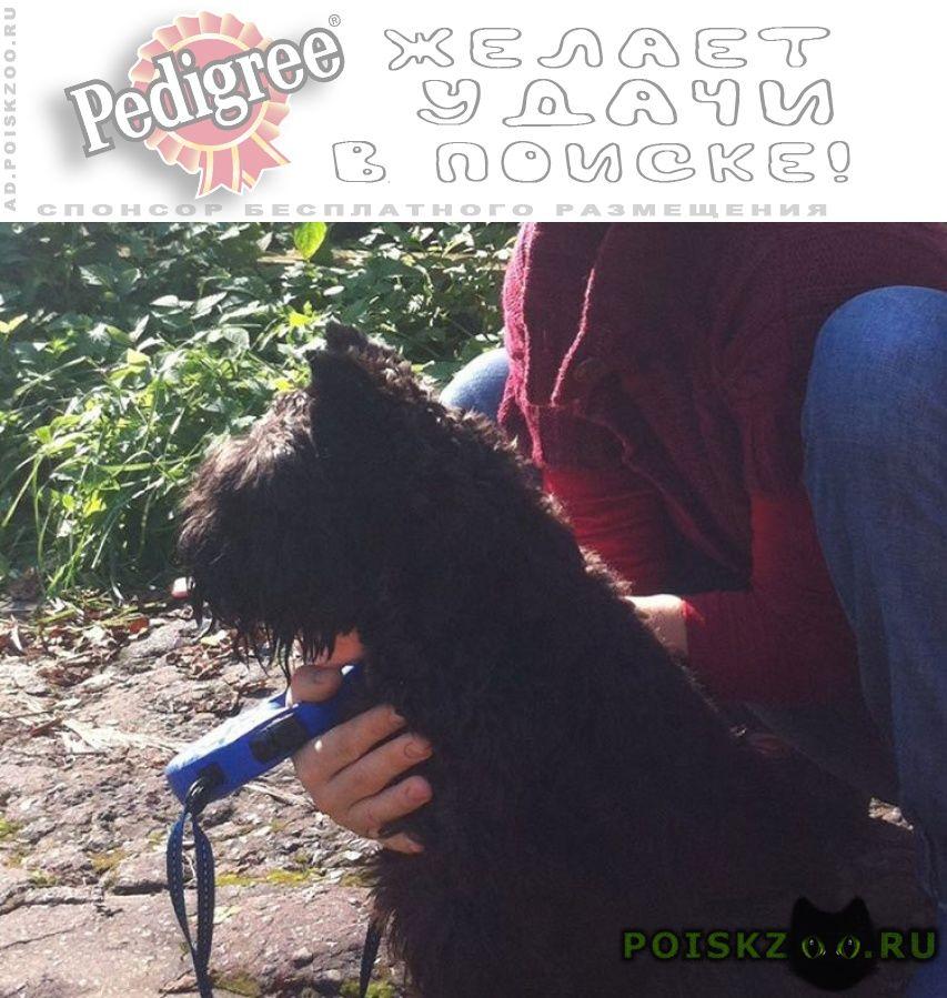 Пропала собака кобель черный цвергшнауцер гоша г.Санкт-Петербург