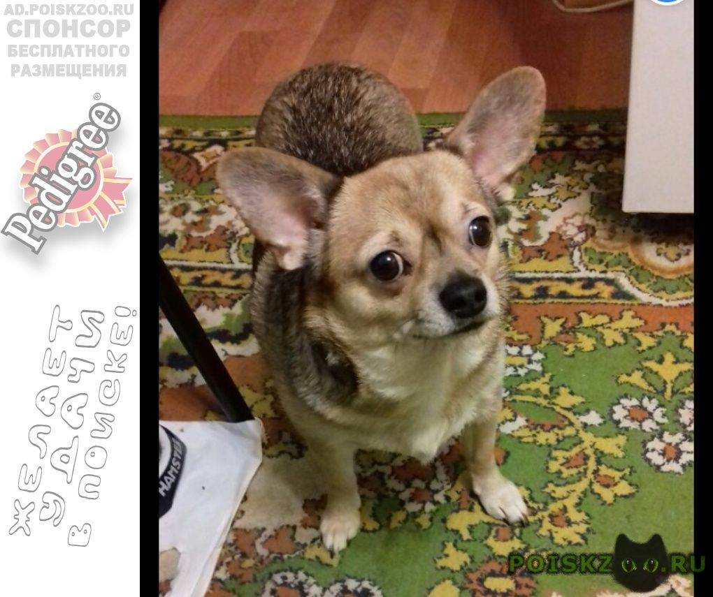 Пропала собака кобель метис чихуахуа г.Вороново