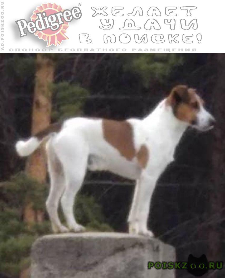 Пропала собака кобель парсон-рассел-терьер г.Емельяново