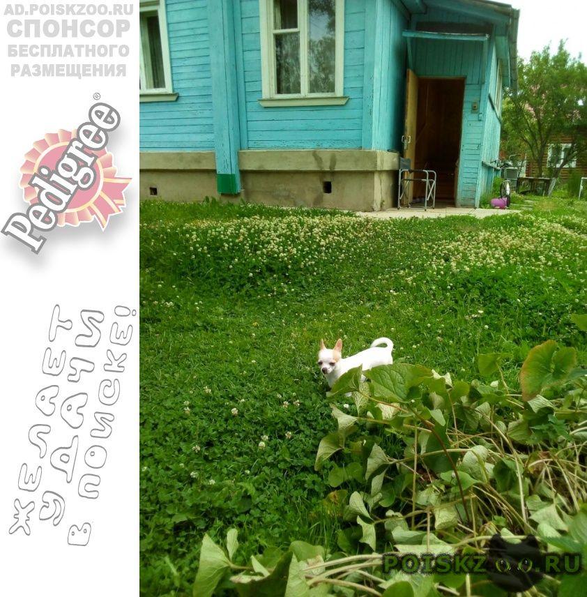 Пропала собака чихуахуа г.Сергиев Посад