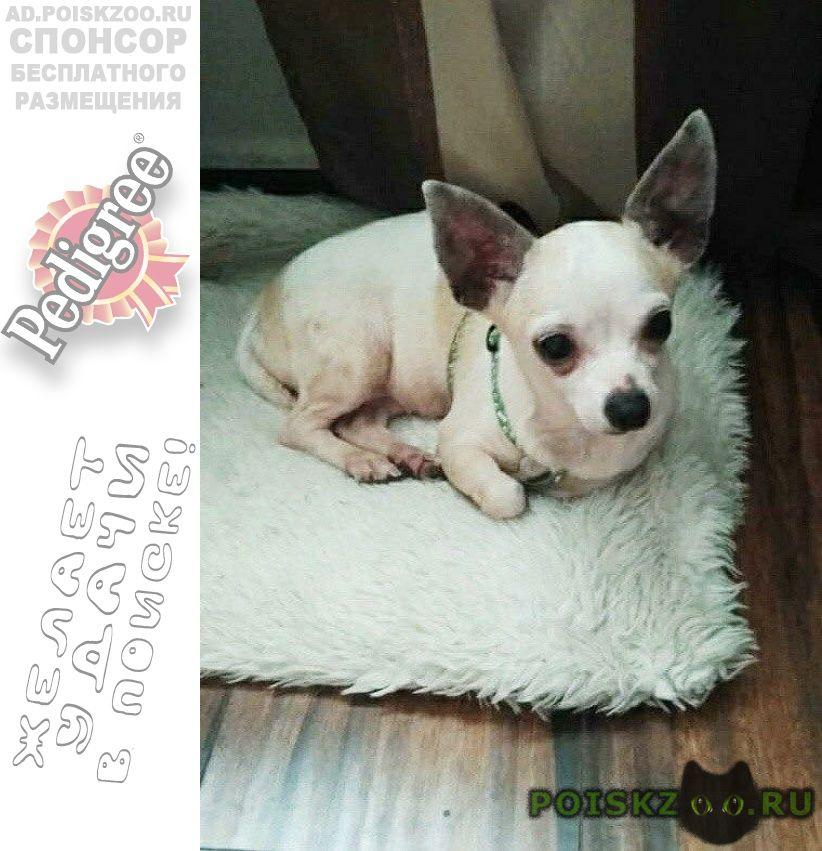 Пропала собака чихуахуа в посёлке катуар дер сухарево г.Дмитров