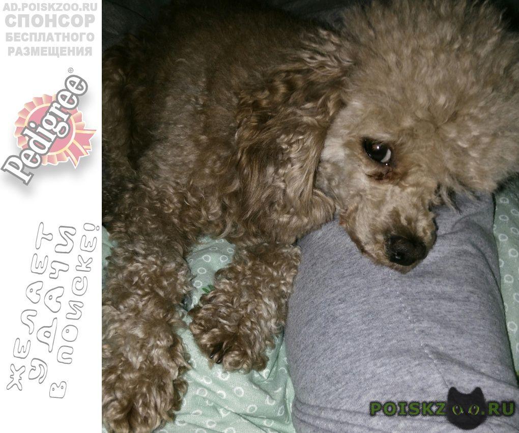Пропала собака карликовый пудель г.Ессентуки