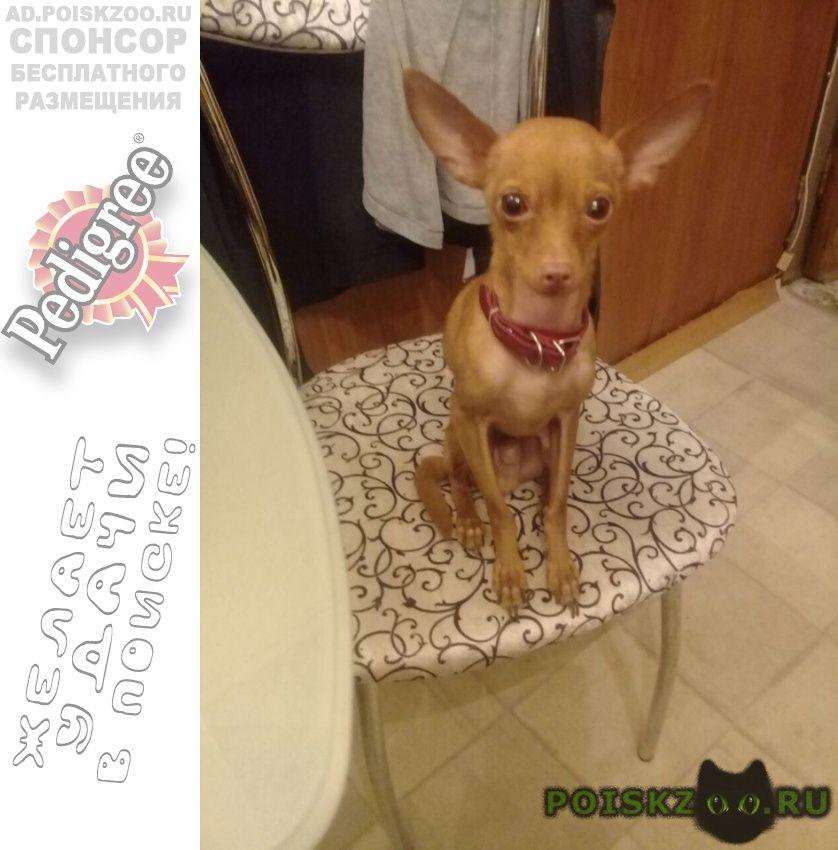 Пропала собака кобель тойтерьер на бирюлевской ул. г.Москва