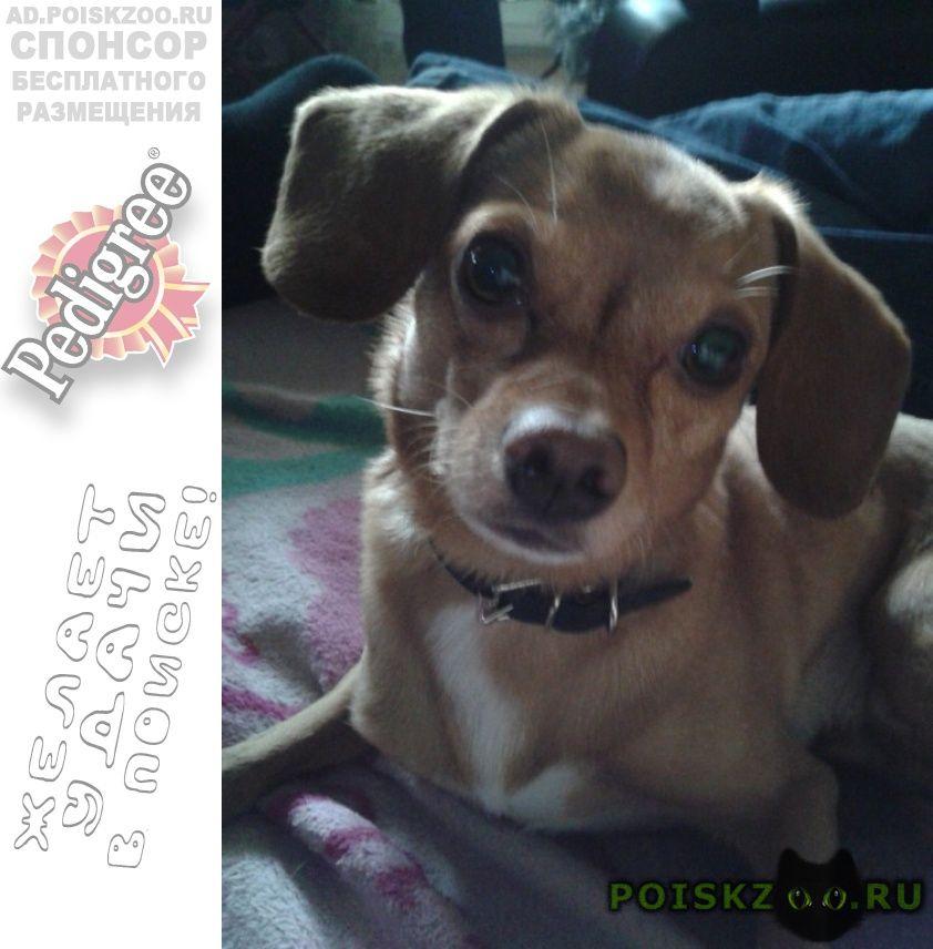 Пропала собака кобель рыжая собачка г.Иркутск
