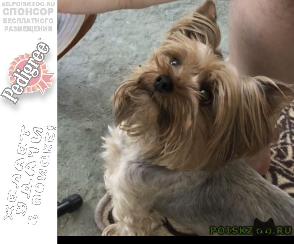 Пропала собака кобель йорк на бытхе г.Сочи