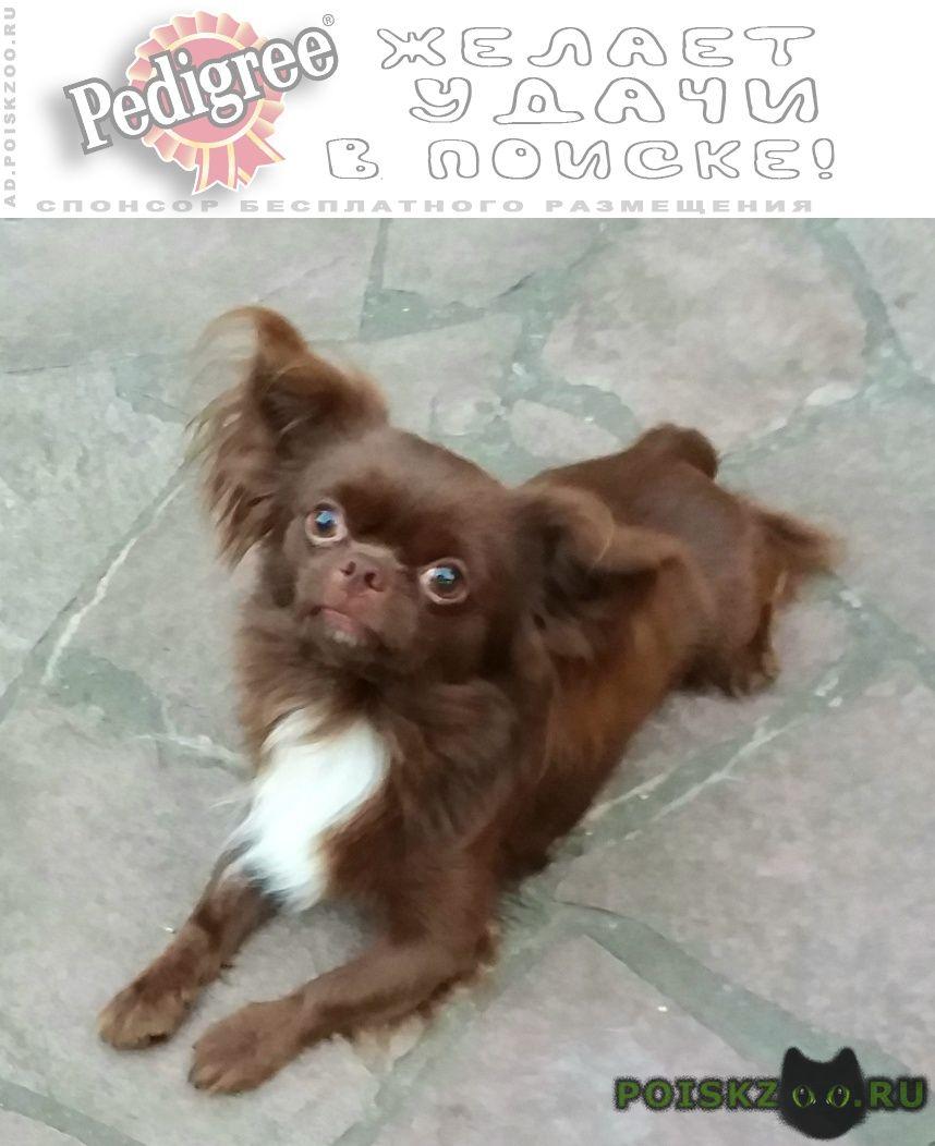 Пропала собака кобель чихуахуа г.Раменское