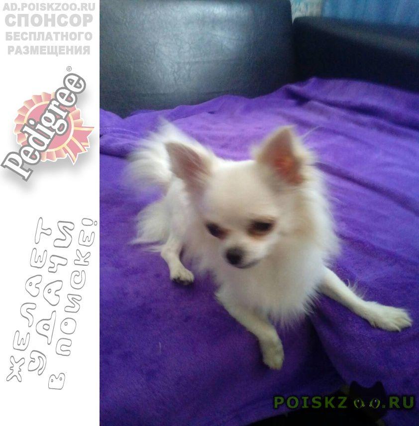 Пропала собака кобель чихуахуа г.Киреевск