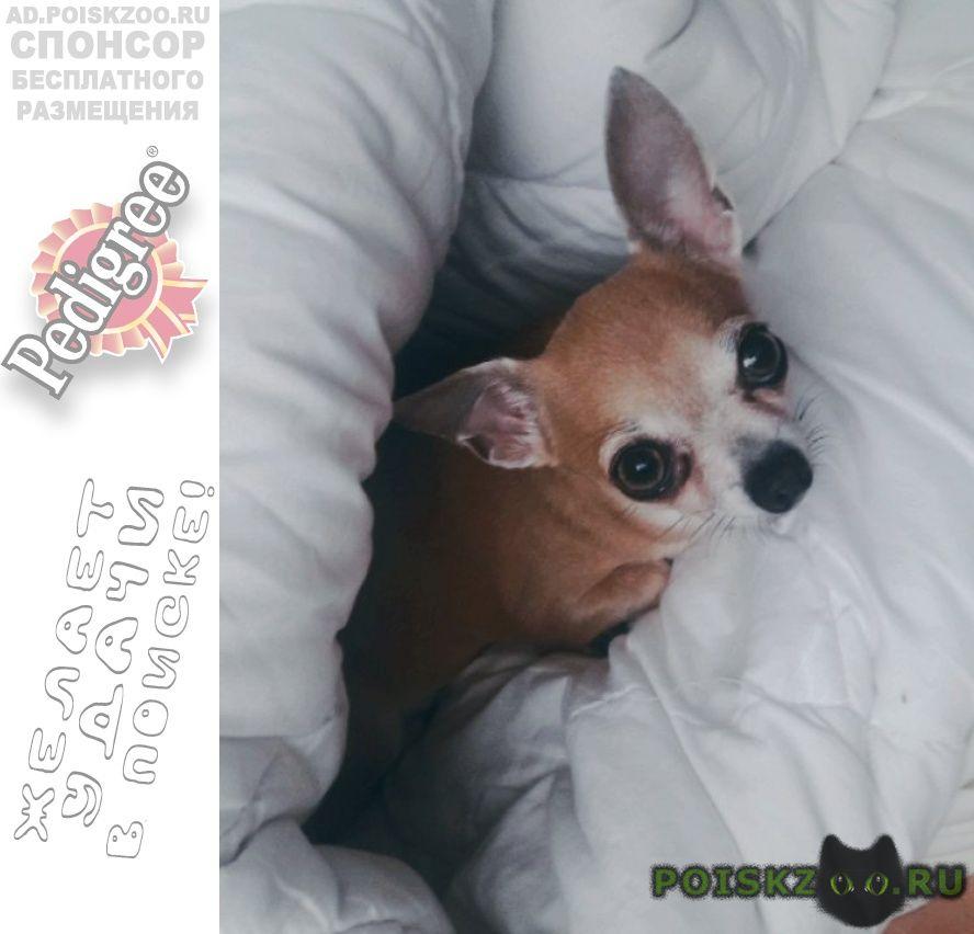 Пропала собака чихуахуа г.Абрау-Дюрсо