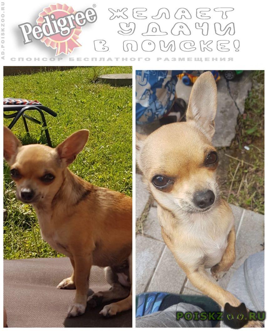 Пропала собака чихуахуа г.Ступино