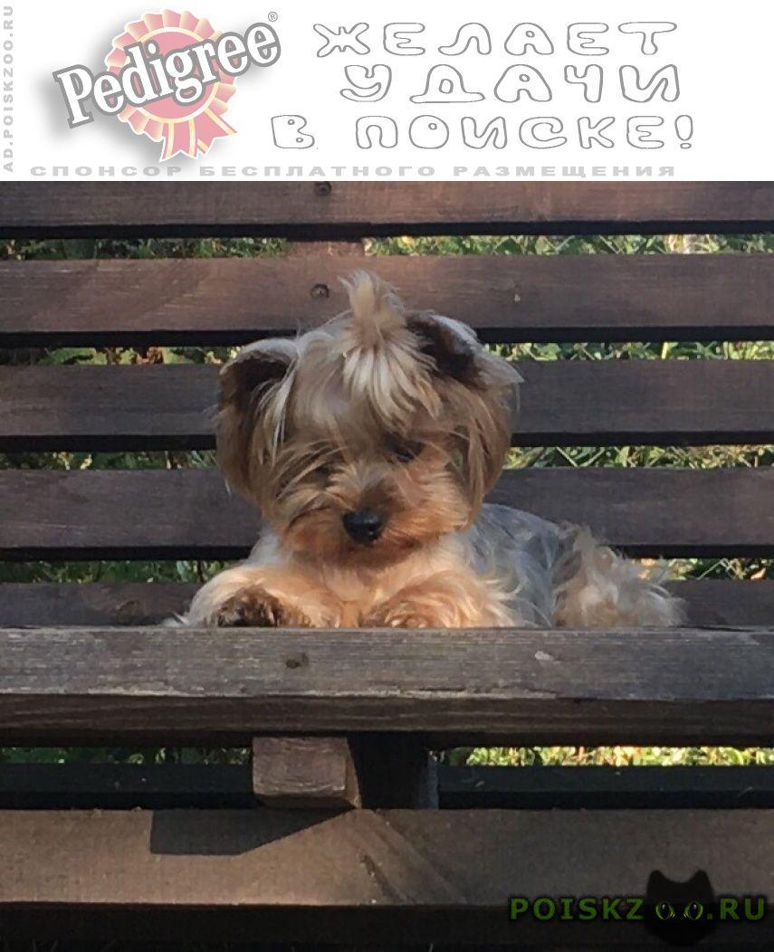 Пропала собака йорк девочка спб кировский район г.Санкт-Петербург