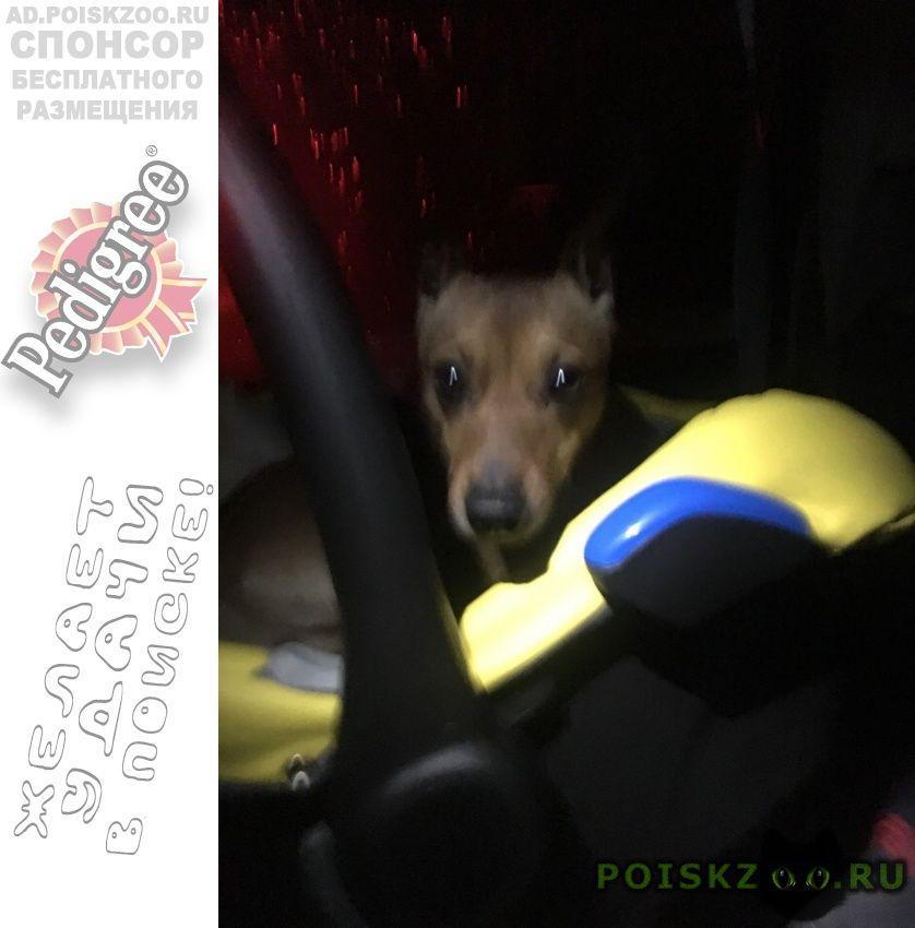 Пропала собака кобель в садоводстве мшинская г.Луга