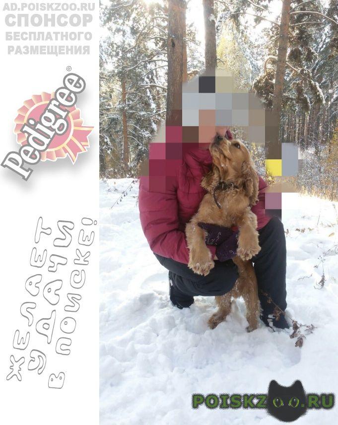 Пропала собака кобель английский кокер спаниель г.Томск