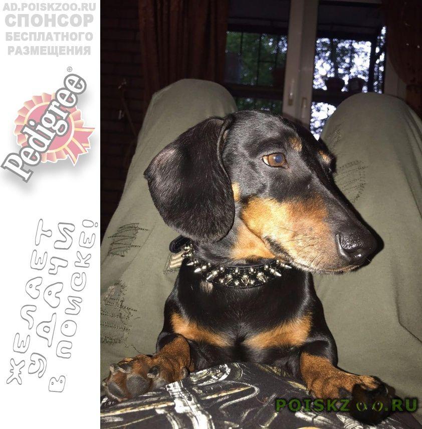Пропала собака кобель таксы г.Москва