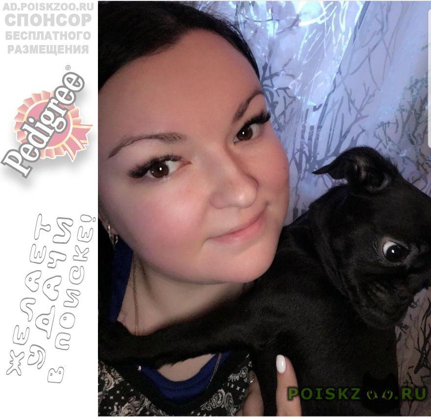 Пропала собака пти-брабансон на с з г.Челябинск
