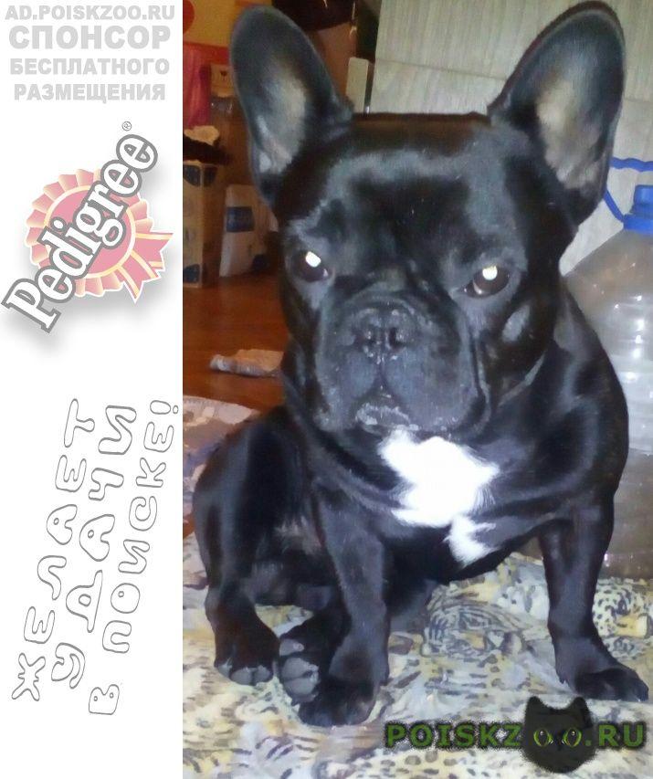 Пропала собака кобель французский бульдог г.Азов